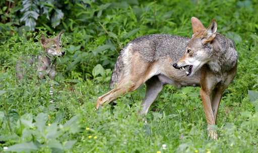 US proposes shrinking last endangered red wolf habitat