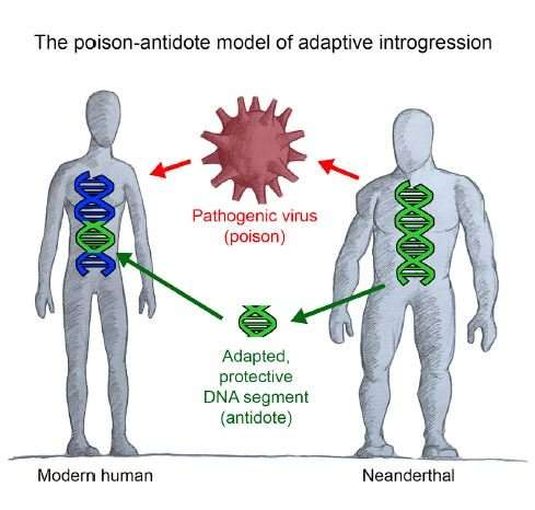 Viruses influenced gene sharing between Neanderthals and humans