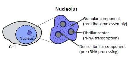 What we've learned about the nucleolus since you left school