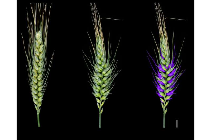 Wheat research discovery yields genetic secrets that could shape future crops