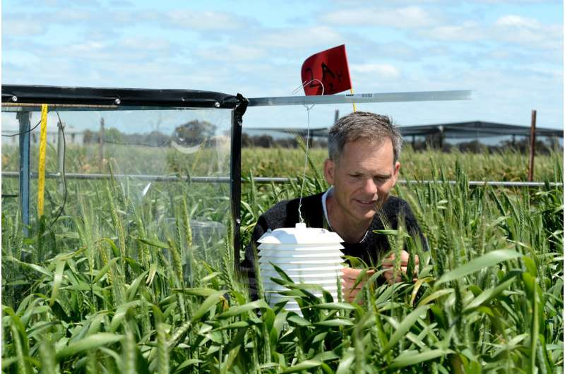 Whether wheat weathers heat waves