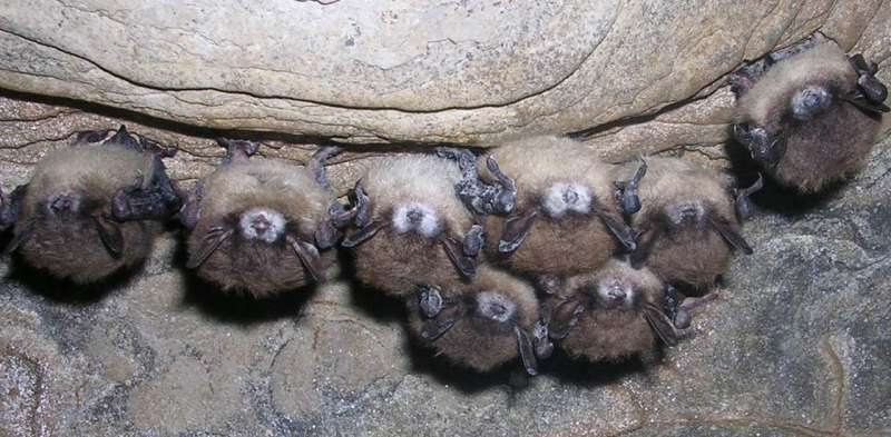 White nose syndrome is killing millions of bats via a contagious fungus – here's how to stop it