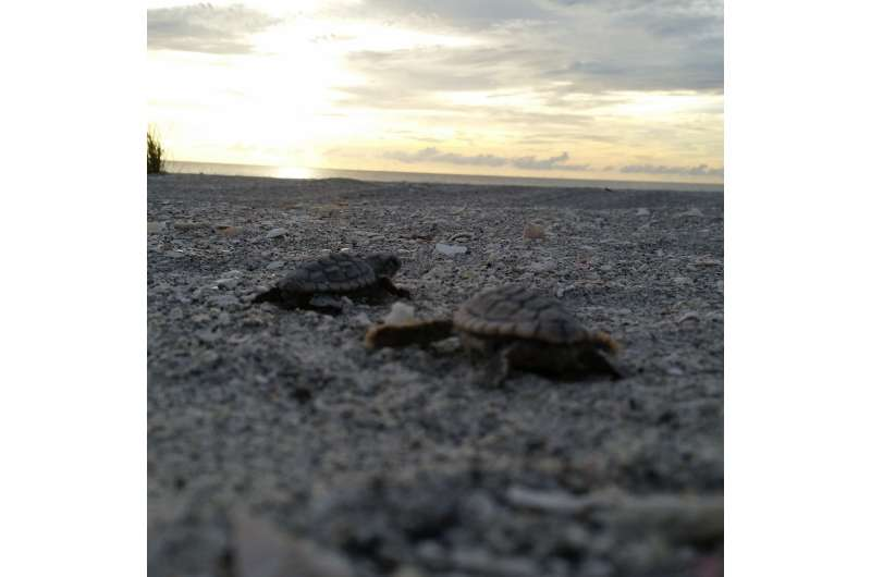Who's your daddy? Good news for threatened sea turtles