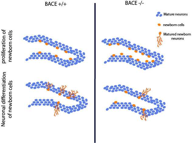 Why BACE inhibitors may be failing Alzheimer's trials