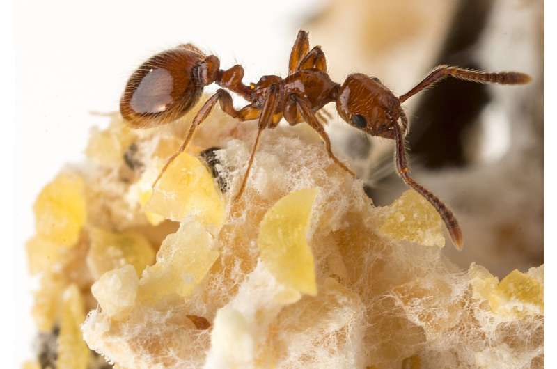 Why freeloader baby-eating ants are welcomed to the colony