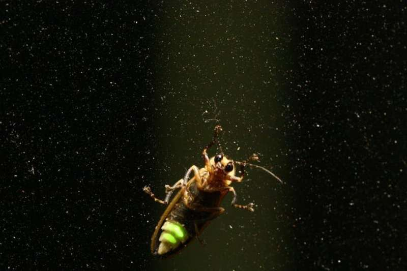 Why some fireflies become femme fatales in their race for survival