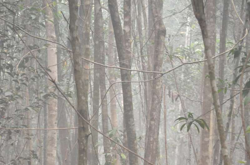 Wildfires may cause long-term health problems for endangered orangutans