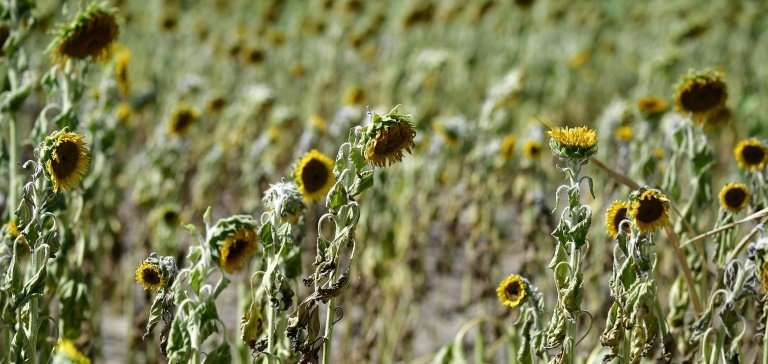 Withered sunflowers in a field near Magdeburg are victims of the drought and high temperatures gripping northern Germany