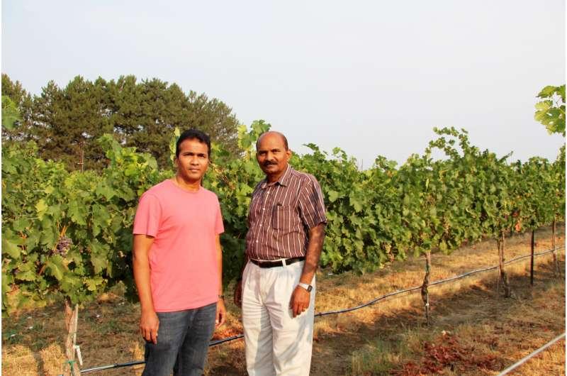WSU scientists clone virus to help stop overwhelming grape disease