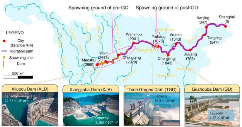 Yangtze dams put endangered sturgeon's future in doubt