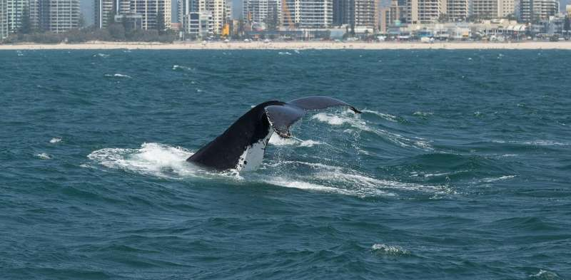 Your drive to the shops makes life pretty noisy for whales