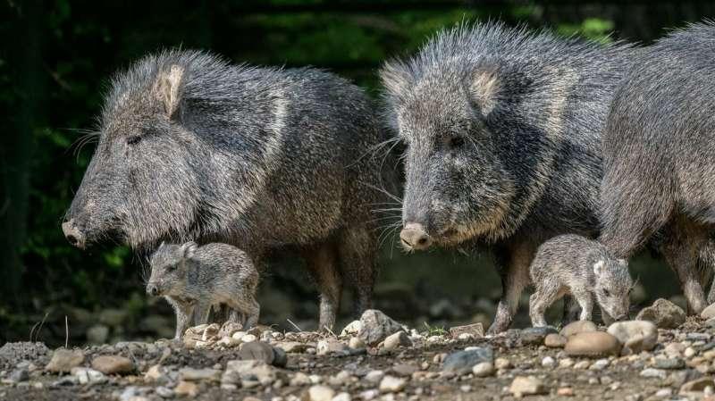 2 rare mammals, Chacoan peccaries, born in Prague zoo