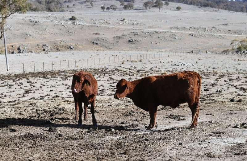 A photograph taken on August 26, 2019 shows cattle standing in a paddock on a drought-affected farm near Armidale in regional Ne