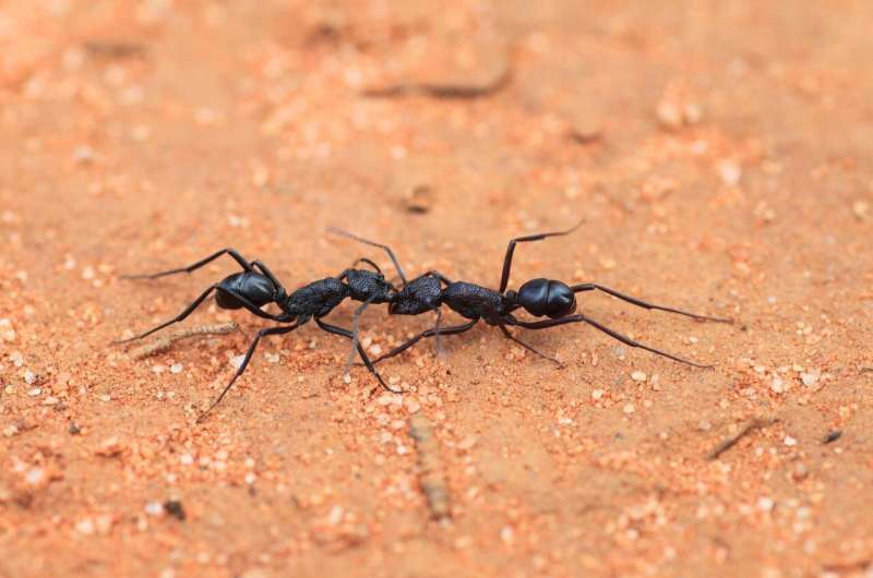 Australian ants prepared for 'Insect Armageddon'