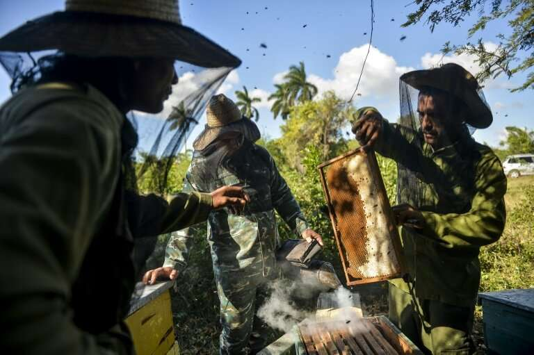 Beekeepers collect honeycombs at an apiary in Navajas, Matanzas province, Cuba