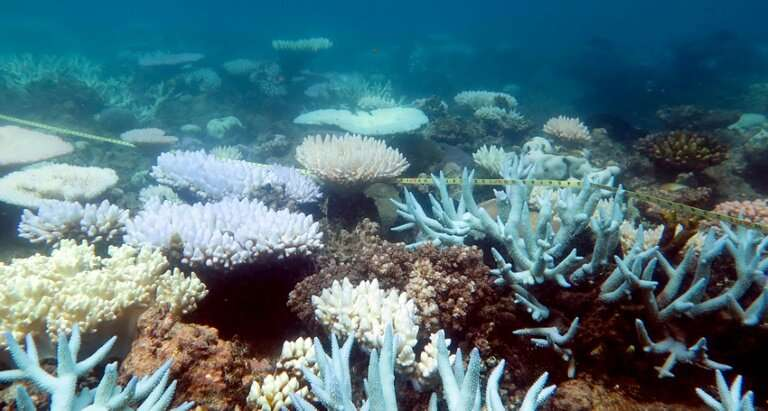 Bleaching occurs when warmer ambient temperatures cause coral to expel tiny photosynthetic algae, draining them of their colour