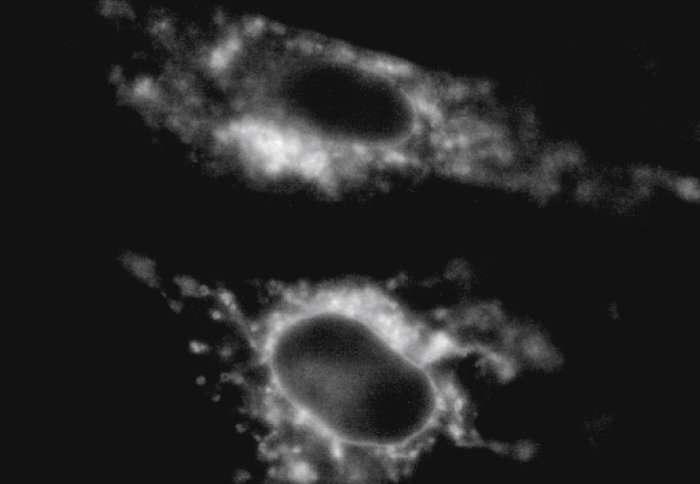 Cells develop a 'thicker skin' under extreme gravity