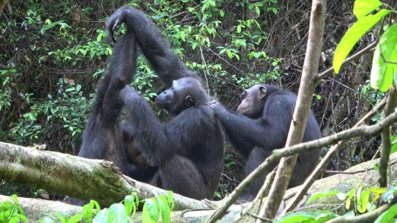 Chimpanzees lose their behavioral and cultural diversity