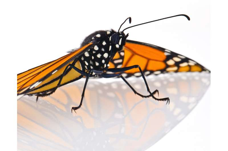 CRISPRed fruit flies mimic monarch butterfly -- and could make you puke