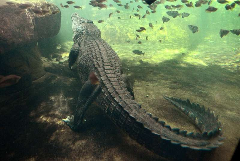 Despite the animals' formidable reputation, attacks from freshwater and saltwater crocodiles on humans are relatively rare in Au