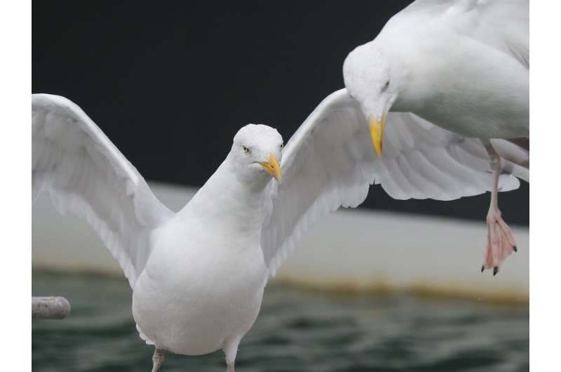 Dexterous herring gulls learn new tricks to adapt their feeding habits