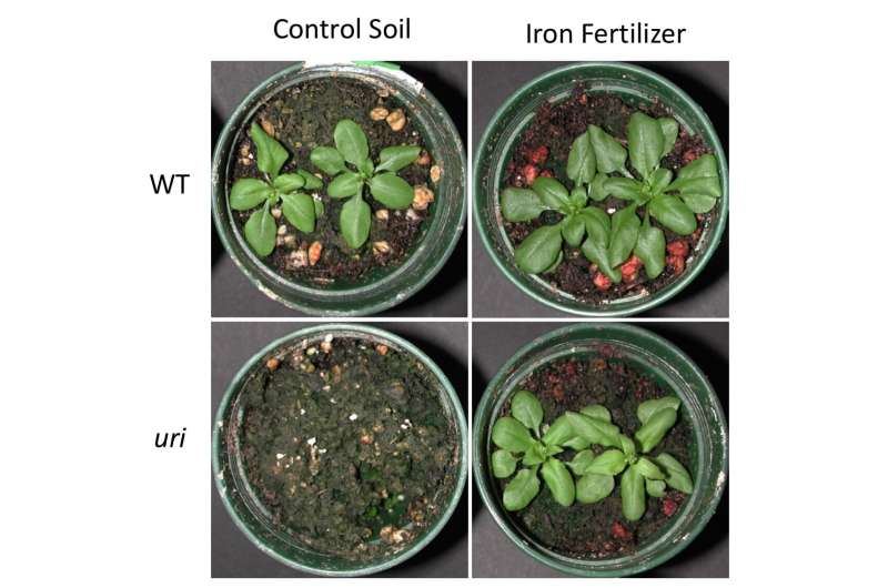 Discovery increases chance of improving iron content in plants