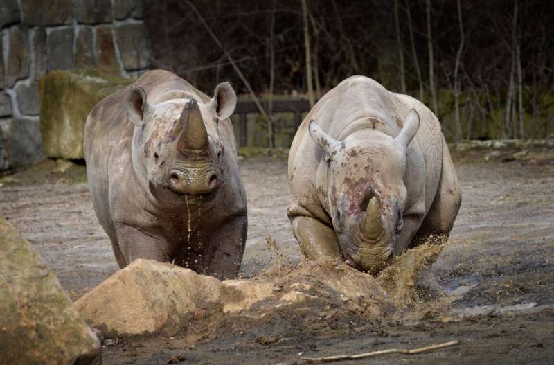 Endangered rhinos ready to be sent from Europe to Rwanda