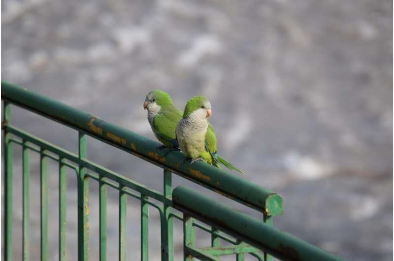 Escaped pet parrots are now naturalized in 23 US states, study finds