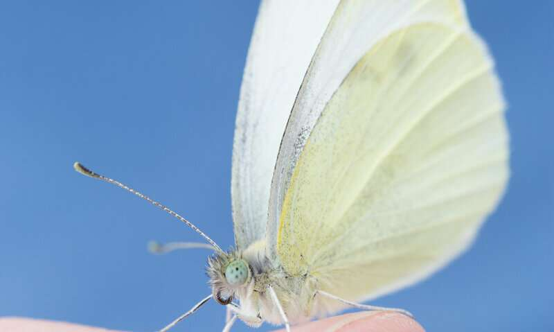 Every time the small cabbage white butterfly flaps its wings it has us to thank
