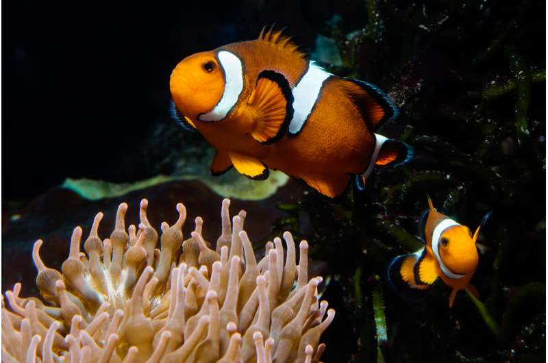 For anemonefish, male-to-female sex change happens first in the brain