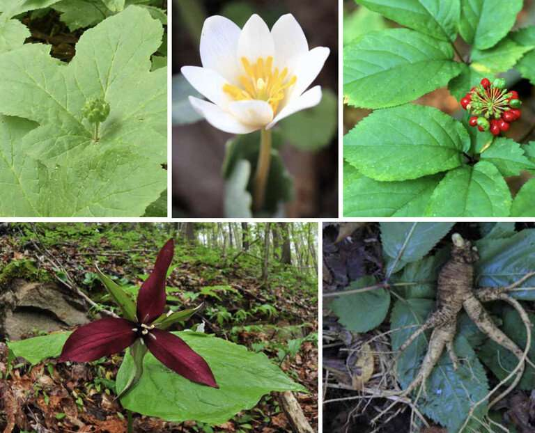 Forest farms could create market for ginseng, other herbs