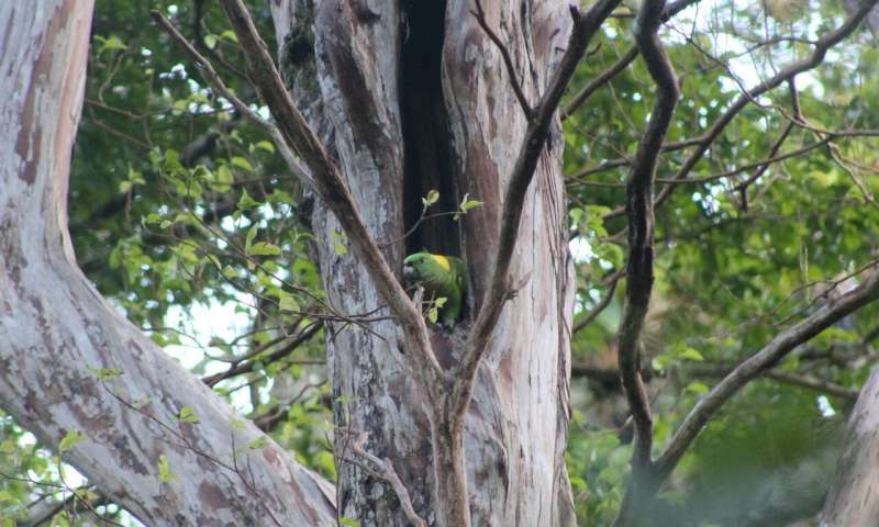 Forest fire pushes imperilled parrot closer to the brink