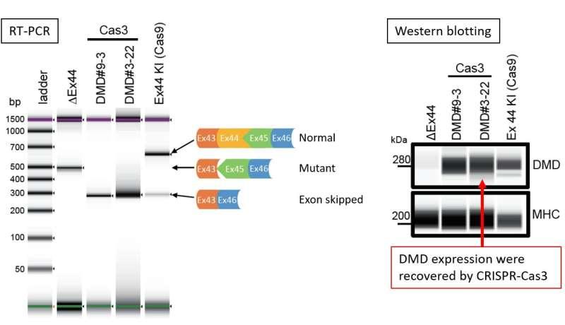 Genomic cut and paste using a class 1 CRISPR system