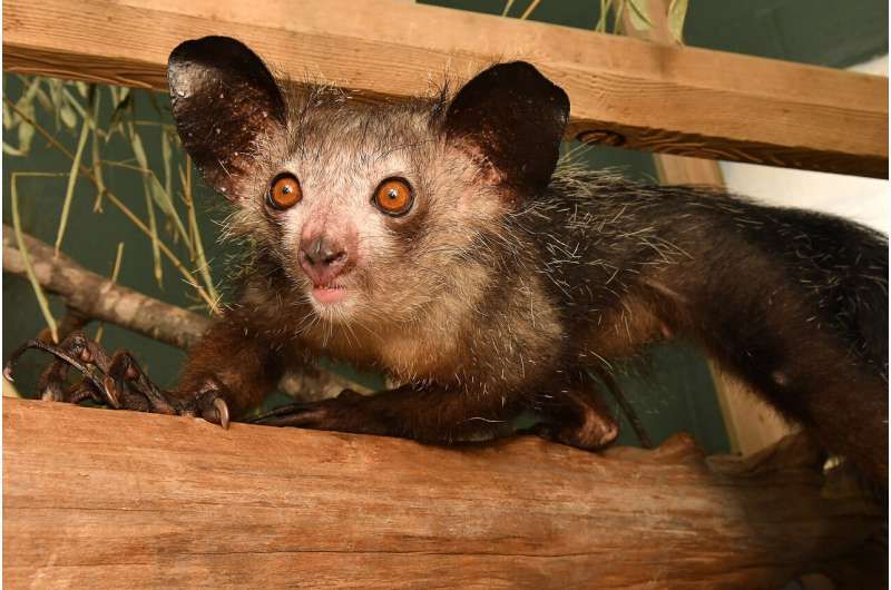 Gimme six! Researchers discover aye-aye's extra finger
