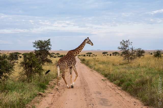 **Giraffes under parasitic attack?