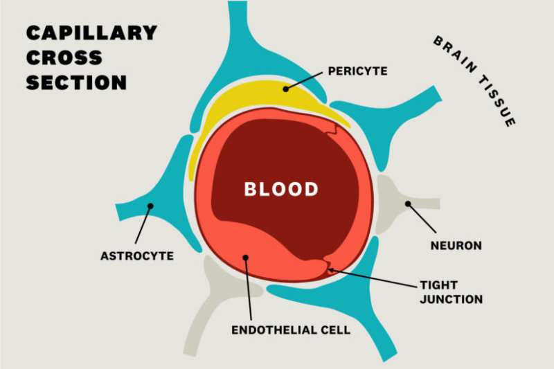 Healthy blood vessels may be the answer to Alzheimer's prevention