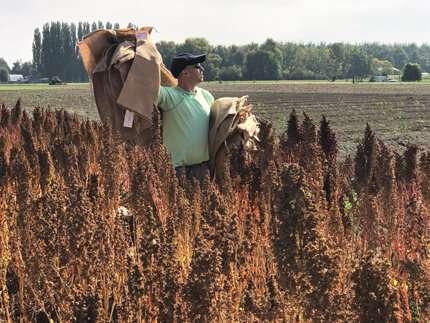 Helping quinoa brave the heat
