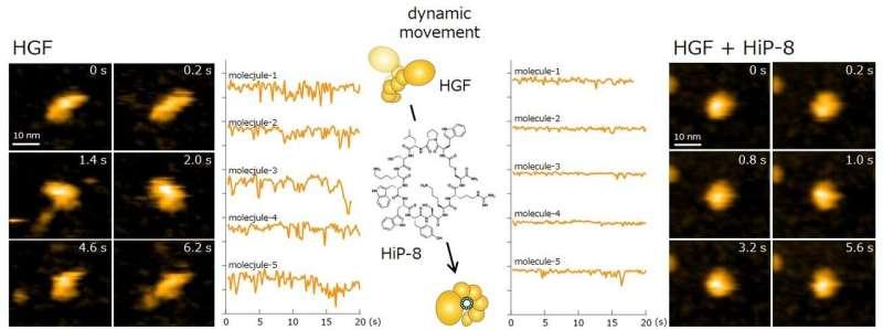 HGF-inhibitory macrocyclic peptide -- mechanisms and potential cancer theranostics