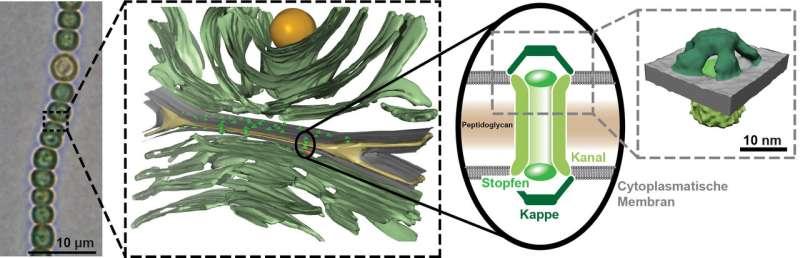 How multicellular cyanobacteria transport molecules