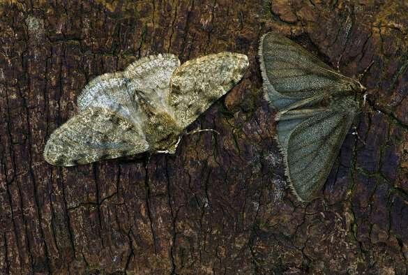 'Industrial melanism' linked to same gene in three moth species