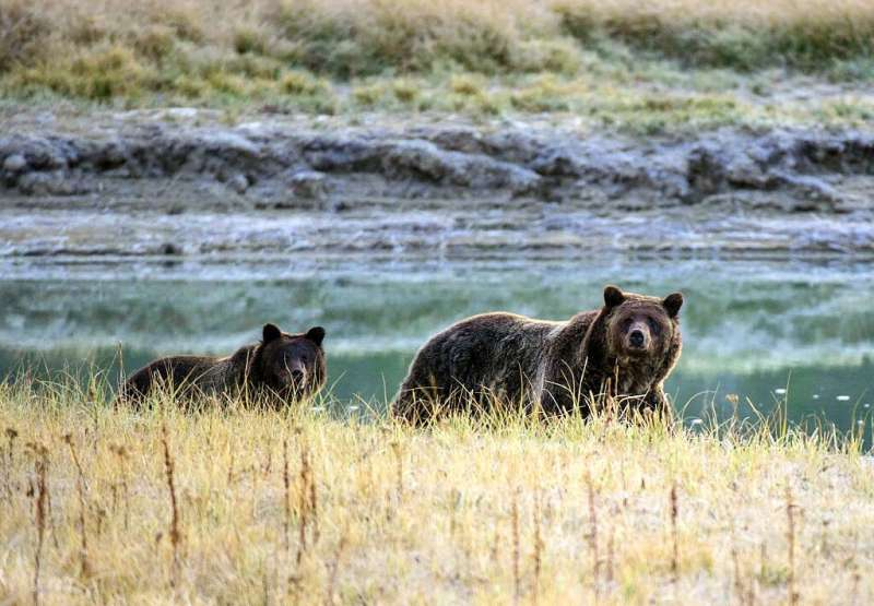 In this file photo taken on October 8, 2012 a grizzly bear mother and her cub walk near Pelican Creek in the Yellowstone Nationa