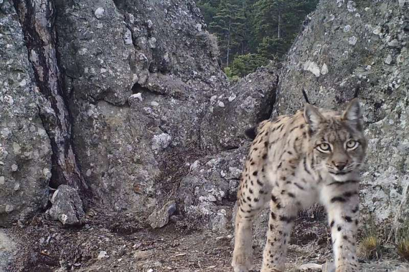 Lynx in Turkey: Noninvasive sample collection provides insights into genetic diversity