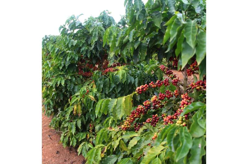 Managing the ups and downs of coffee production