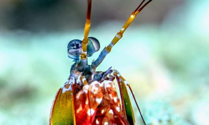 Mantis shrimp vs. disco clams: Colorful sea creatures do more than dazzle