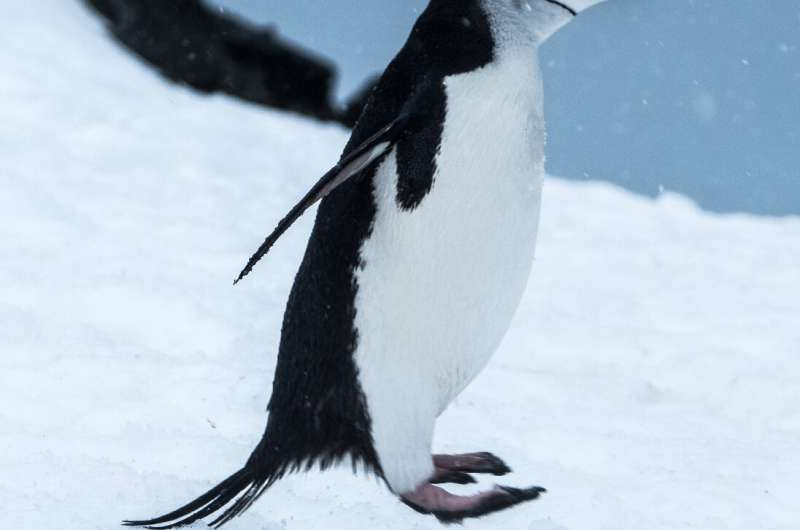 March of the multiple penguin genomes