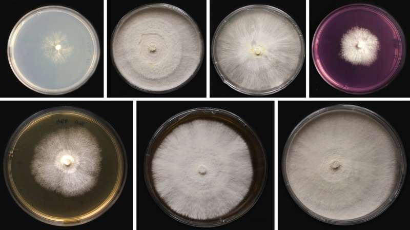 Medicinal mushroom newly reported from Thailand helps reveal optimum growth conditions