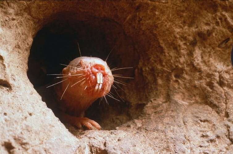 Meet the naked mole-rat: impervious to pain and cancer, and lives ten times longer than it should