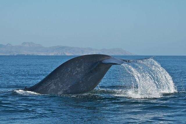 Modeling predicts blue whales' foraging behavior, aiding population management efforts