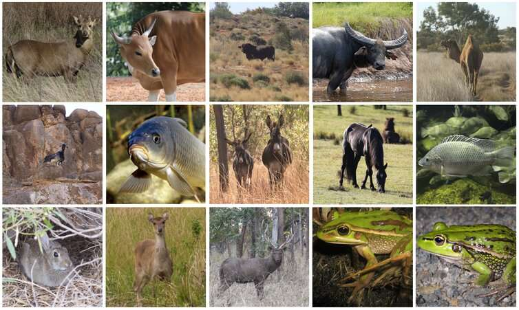 Non-native species should count in conservation – even in Australia