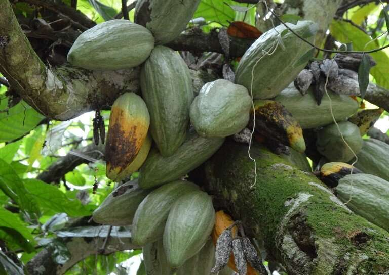 Novel way to ID disease-resistance genes in chocolate-producing trees found